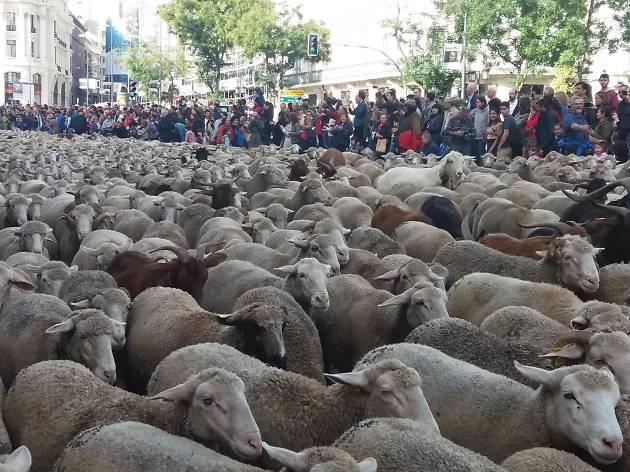 Grandes rebaños vuelven a cruzar Madrid en la Fiesta de la Trashumancia