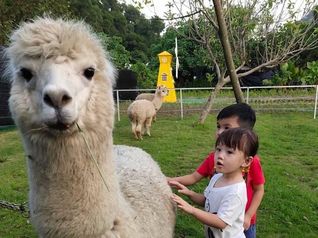 Go Green Organic Farm_alpaca