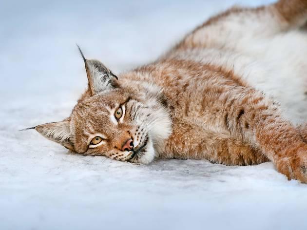 Eurasian Lynx in Risnjak National Park