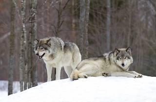 Wolves in Risnjak National Park