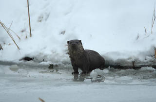 Otter in Baranja