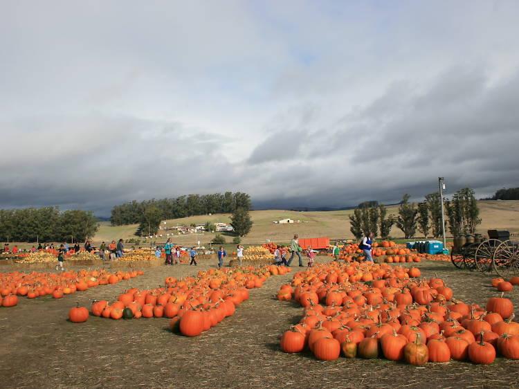 The Petaluma Pumpkin Patch