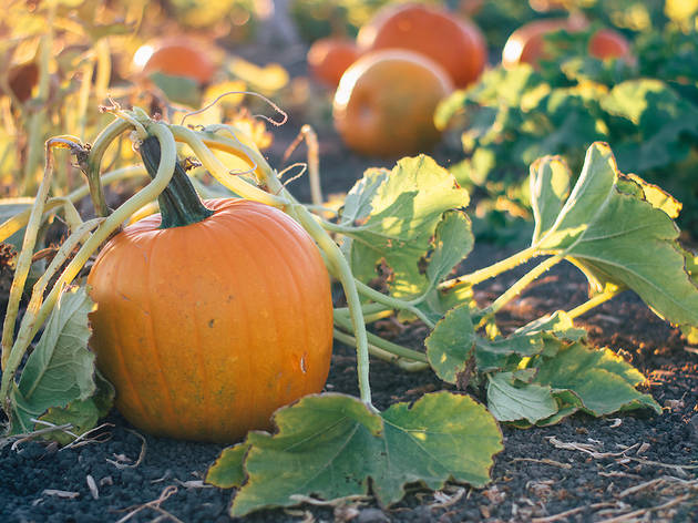 Best pumpkin patches near NYC