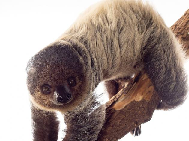The Brooklyn Children's Museum welcomes an adorable sloth