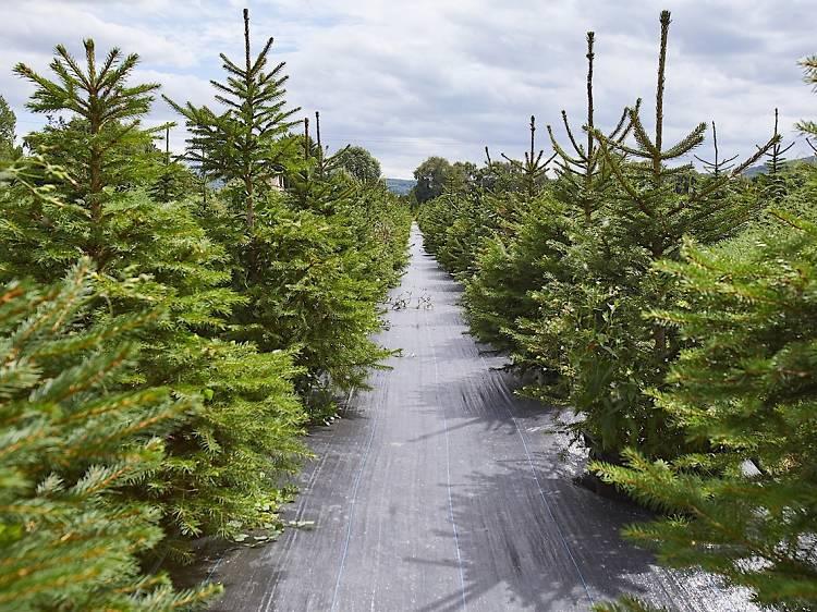 London Christmas Tree Rental