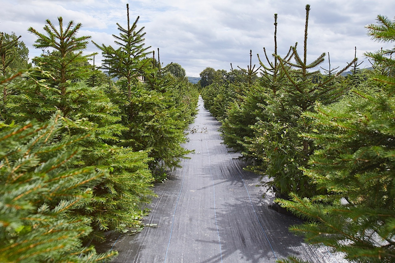 London christmas tree rental