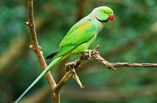 Why are there parakeets in London?