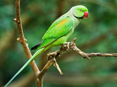 The great London parakeet mystery has been solved (maybe)