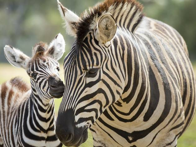 A baby zebra was born at Werribee Open Range Zoo, and our hearts are exploding