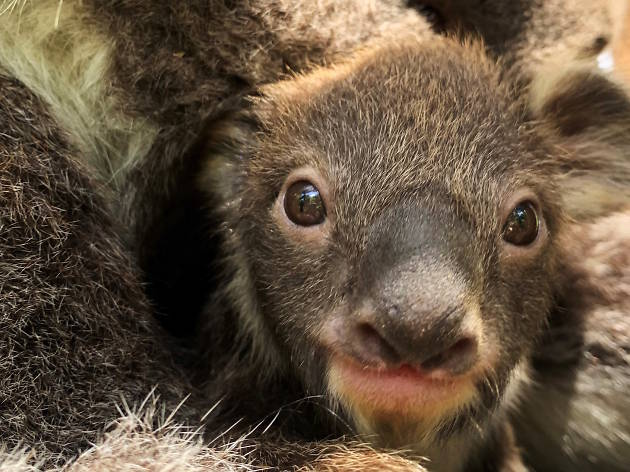 A baby koala has been born at Melbourne Zoo for the first time in eight years