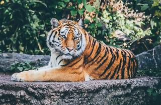Living Worlds: An Animal Planet Exhibition, tiger