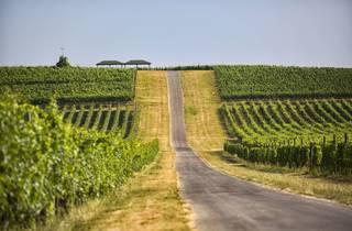 Ilok, wineyard, vinograd, Slavonia, Slavonija, wine, vino
