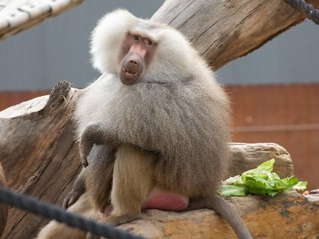 A baboon at Sydney Zoo
