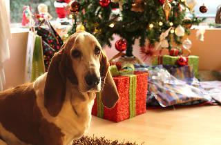 Basset hound near a Christmas tree