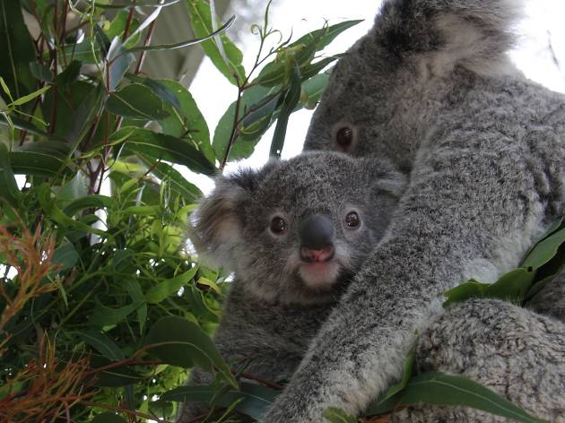 A koala joey sitting in its mother's arms in a gum tree.