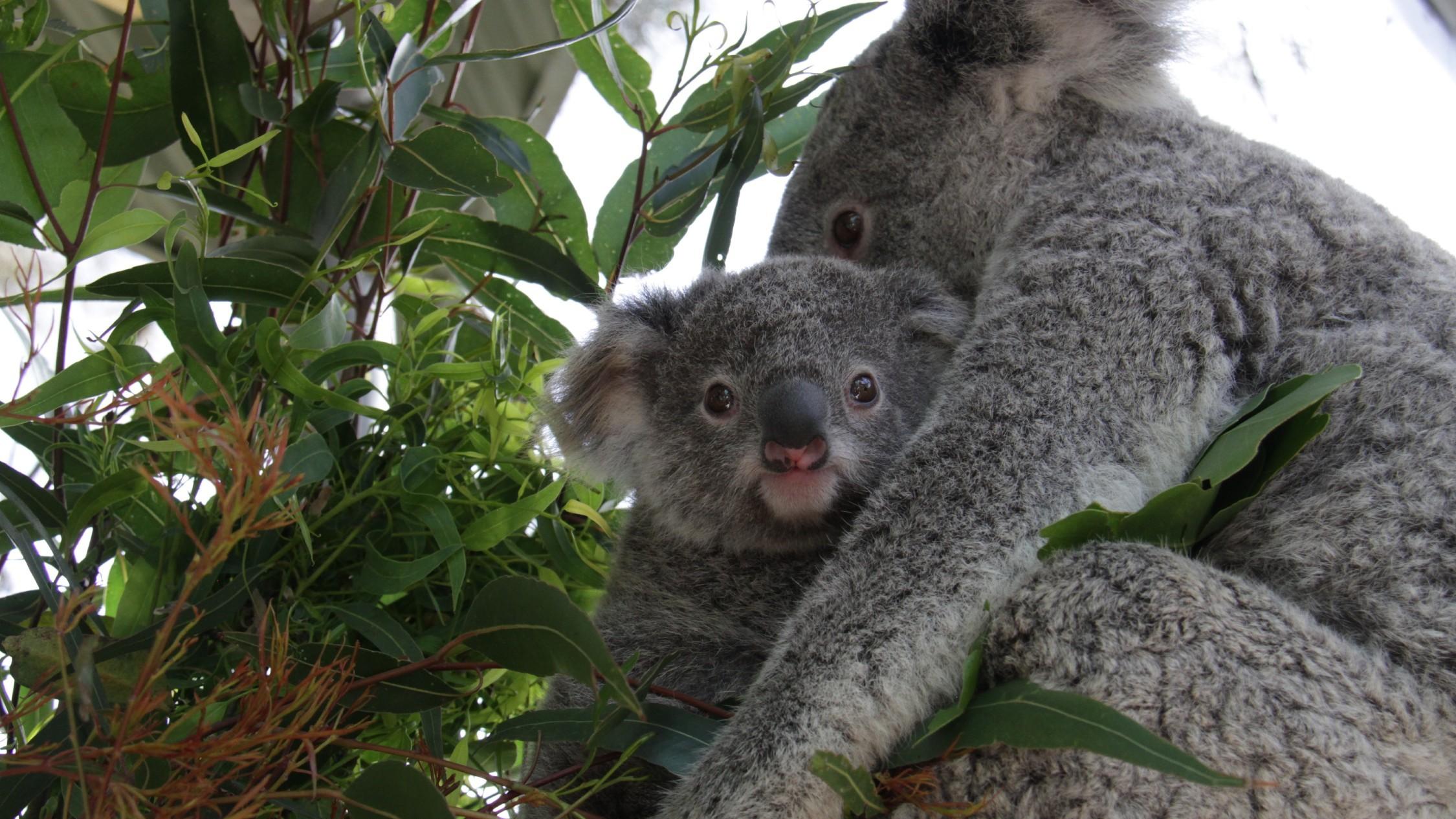 Taronga Zoo koala joeys