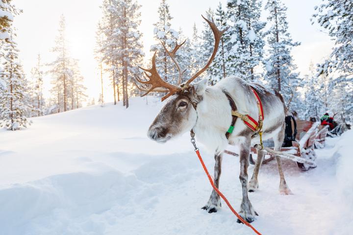 Finland, reindeer