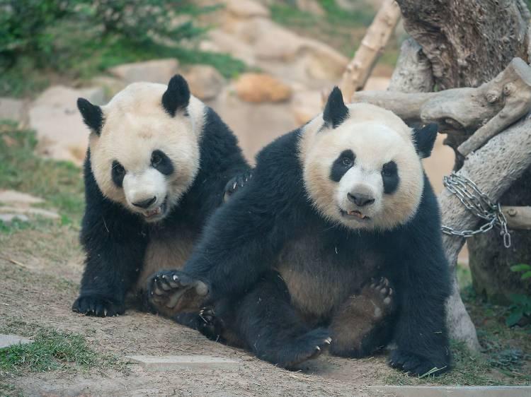 澳門大熊貓館和珍稀動物館:探訪可愛動物