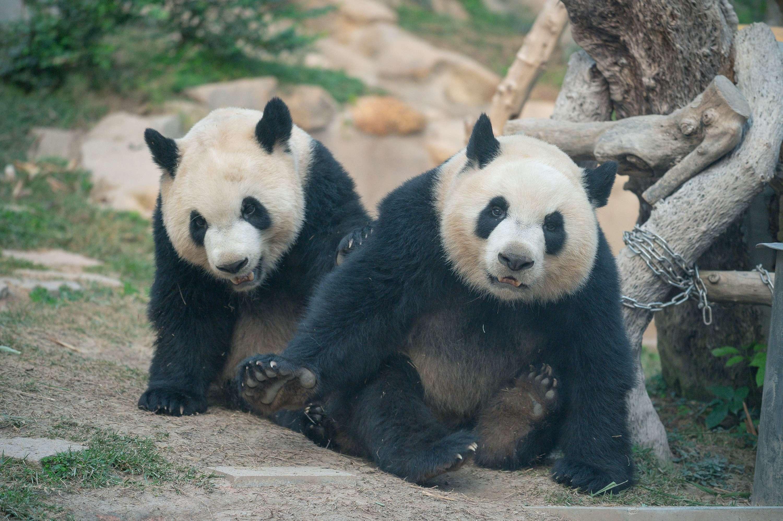 Macao Giant Panda Pavilion