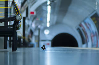 Sam Rowley's picture of tube mice fighting on a London Underground platform, from Wildlife Photographer of the Year 2019