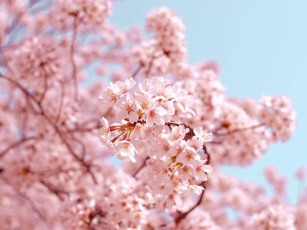 Here's your cherry blossom forecast for Tokyo this year