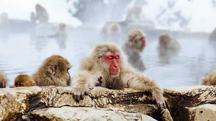 Snow Monkey - Nagano