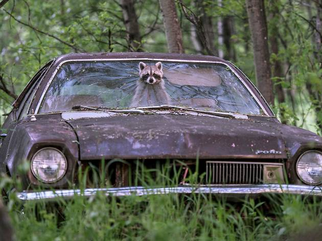 A raccoon peeks out from a hole in the windscreen of an abandoned car.