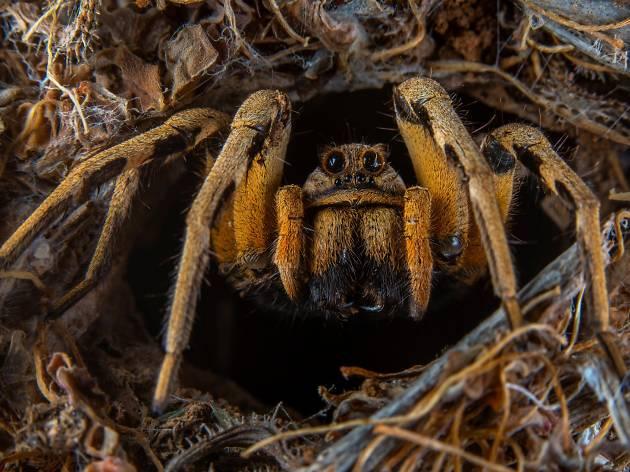 A tarantula peeks out from a nest.