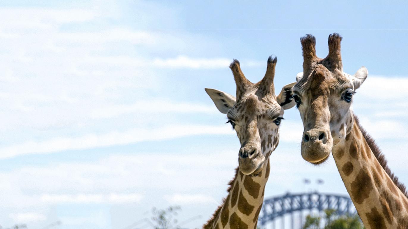 Two giraffes at Taronga Zoo