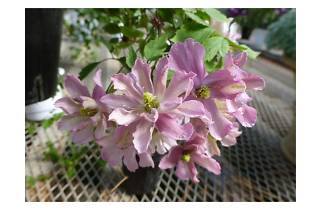 春の花々とクレマチス展