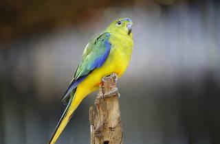 Orange bellied parrot for Werribee Zoo