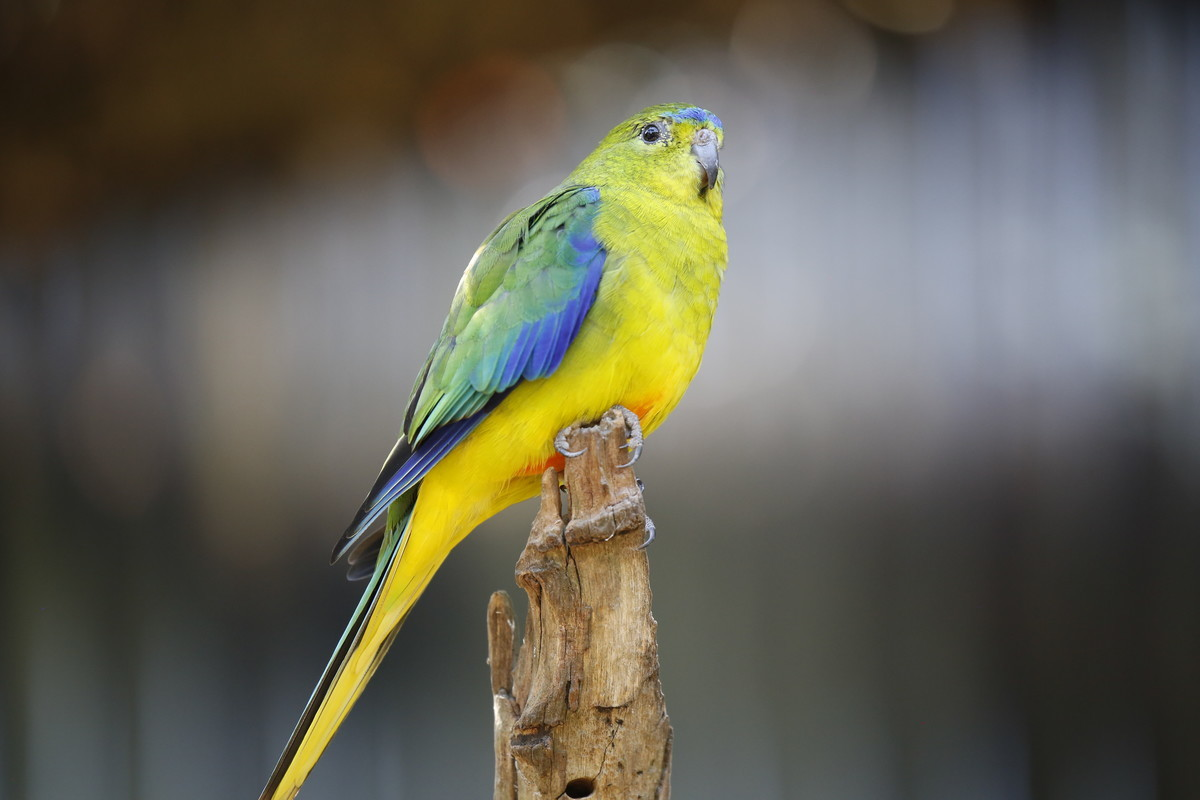 Orange bellied parrot for Werribee Zoo
