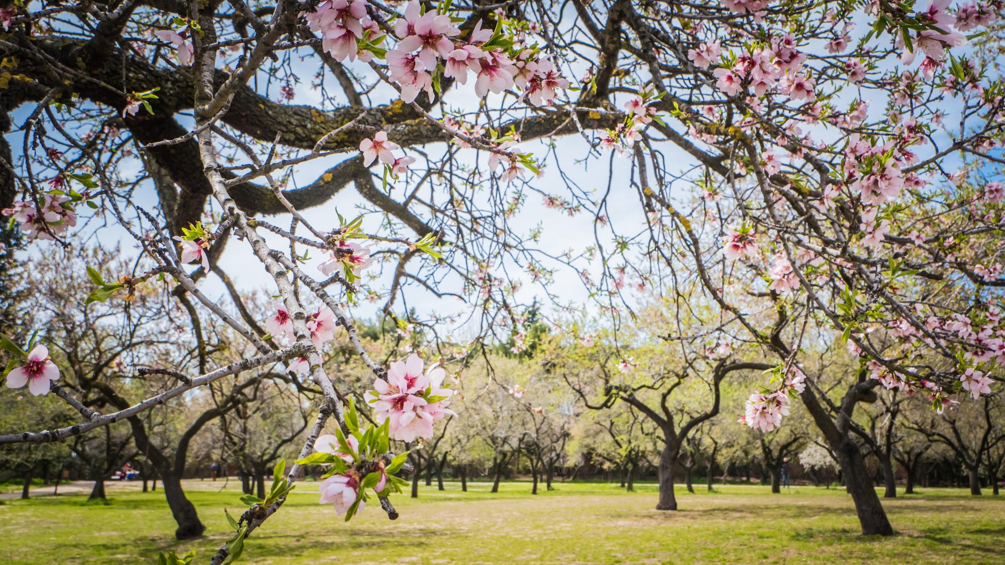 Vuelve la espectacular floración de almendros en La Quinta de los Molinos