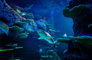 Sharks swimming at Sea Life Sydney Aquarium