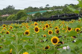 Shun Sum Yuen Sunflower-Shutterstock20-02-2020