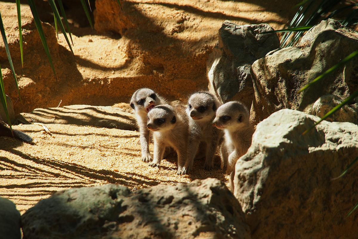 Quatro suricatas e um zebra: há novas crias no Zoo de Lisboa