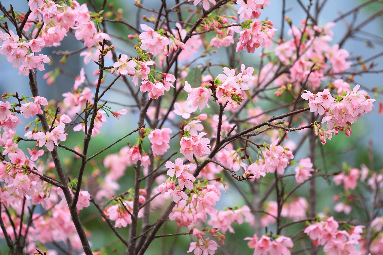 Tseung Kwan O Cerasus Campanulata-Shutterstock20-02-2020