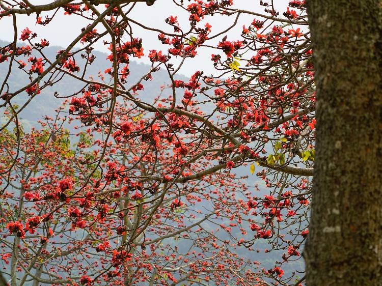 Red cotton tree