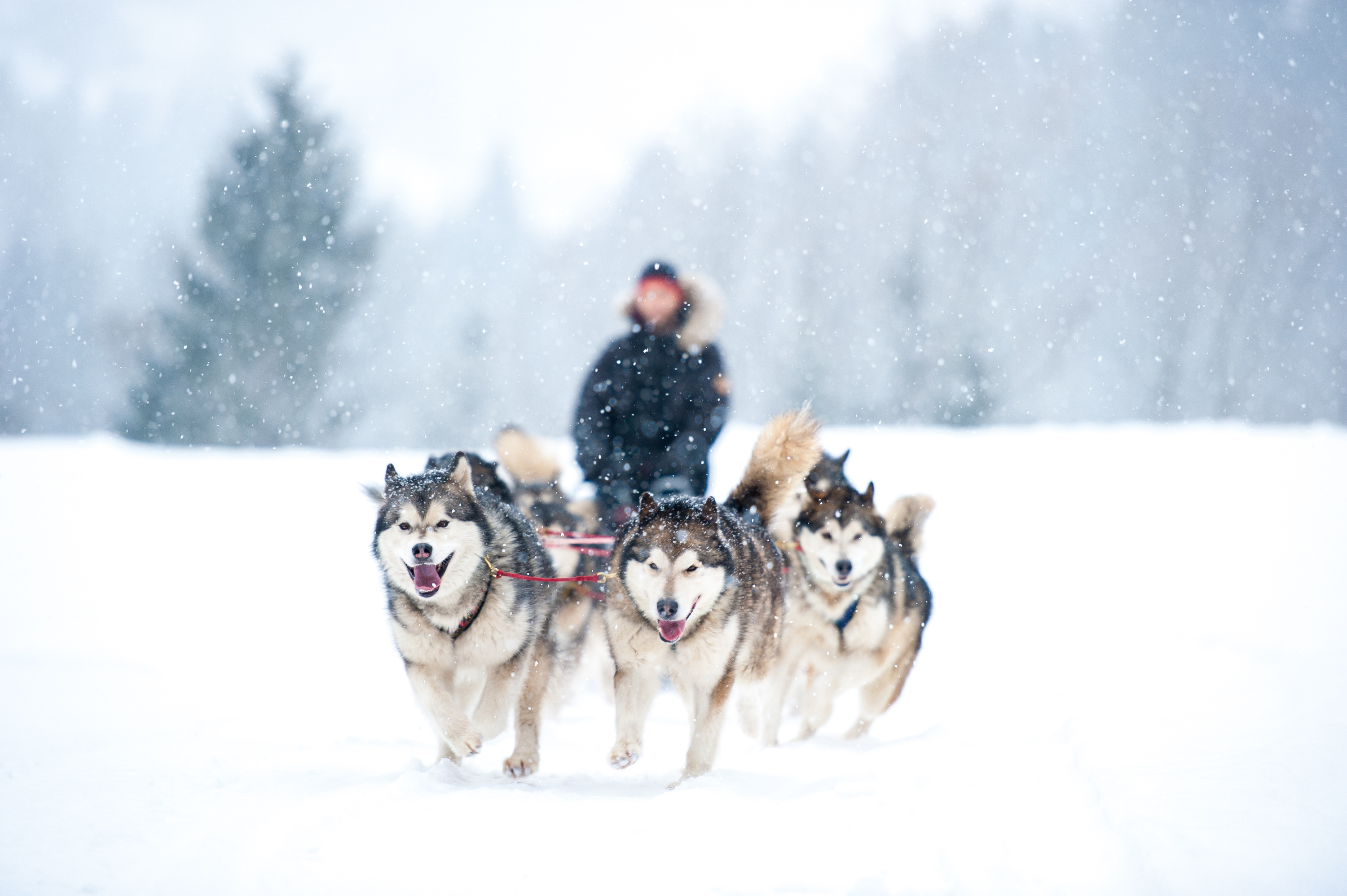 Dog sledding near Montreal for a frosty mush and rush