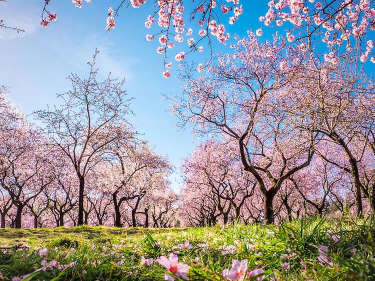 La Quinta de los Molinos cuando florecen los almendros