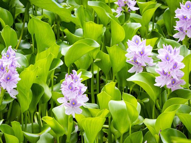 water hyacinth-unsplash-27-02-2020