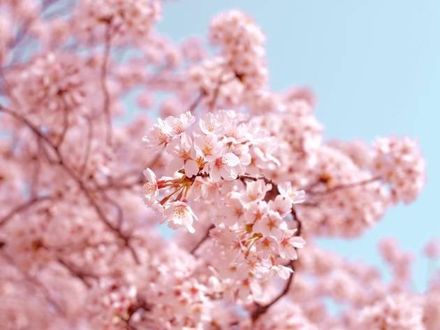 sakura-unsplash-27-02-2020