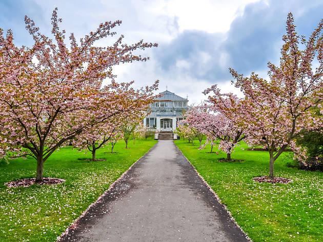 Kew gardens cherry blossom