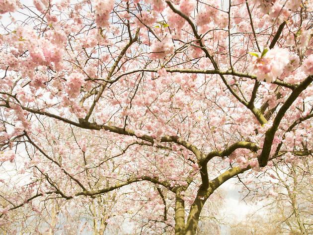 cherry blossom kensington park