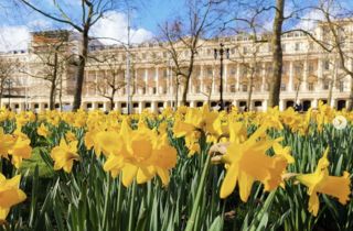 Spring is here! Your pics of daffodils in London