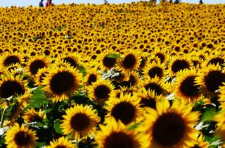 Generic sunflower field