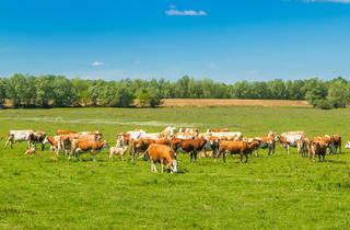 Cows grazing the endless farmlands of Sisak-Moslavina county