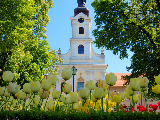 Tulips highlighting the Cathedral of Teresa of Ávila in Bjelovar city