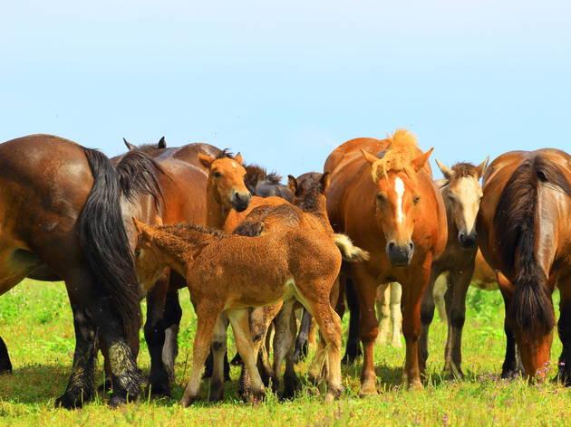 Horses grazing across the many meadows of the Lonja Field wetlands