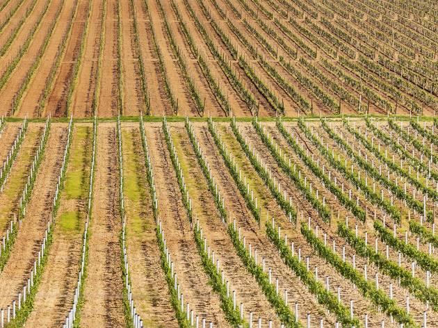 Just-bloomed springtime vineyards across the Slavonia region